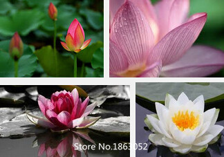 5pcs4kinds colors chinese family special plants seeds lotus flower 5pcs4kinds colors chinese family special plants seeds lotus flower seeds mix minimum order6 flower seeds free shipping in bonsai from home garden on mightylinksfo