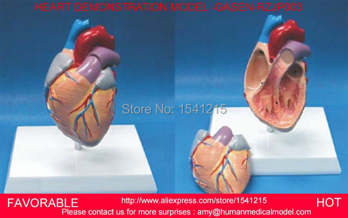 HUMAN ANATOMICAL HEART ANATOMY VISCERA MEDICAL ORGAN MODEL,HEART ASSEMBLED MODEL,HEART DEMONSTRATION MODEL -GASEN-RZJP003 human anatomical body integral organ distribution skin medical teach model school hospital hi q