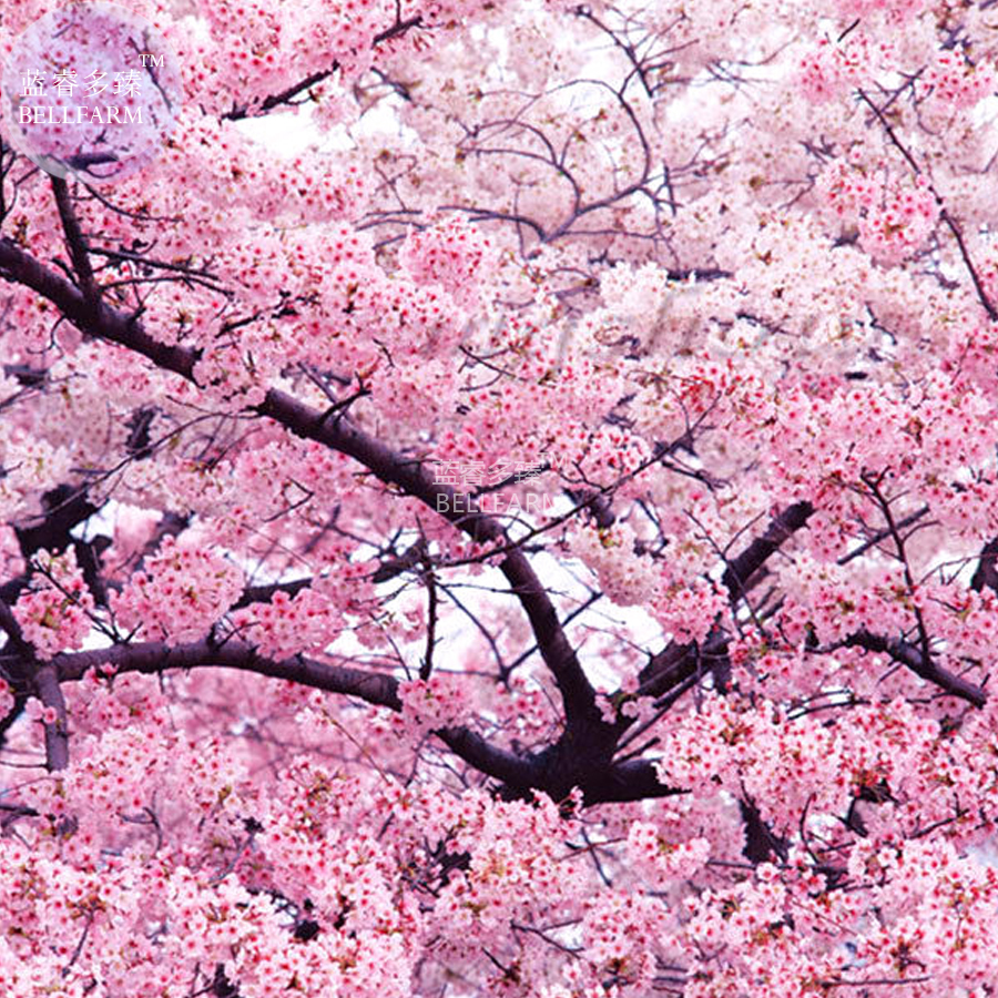 Achetez en gros rose fleur de cerisier arbre en ligne des grossistes rose fleur de cerisier - Arbre japonais rose ...