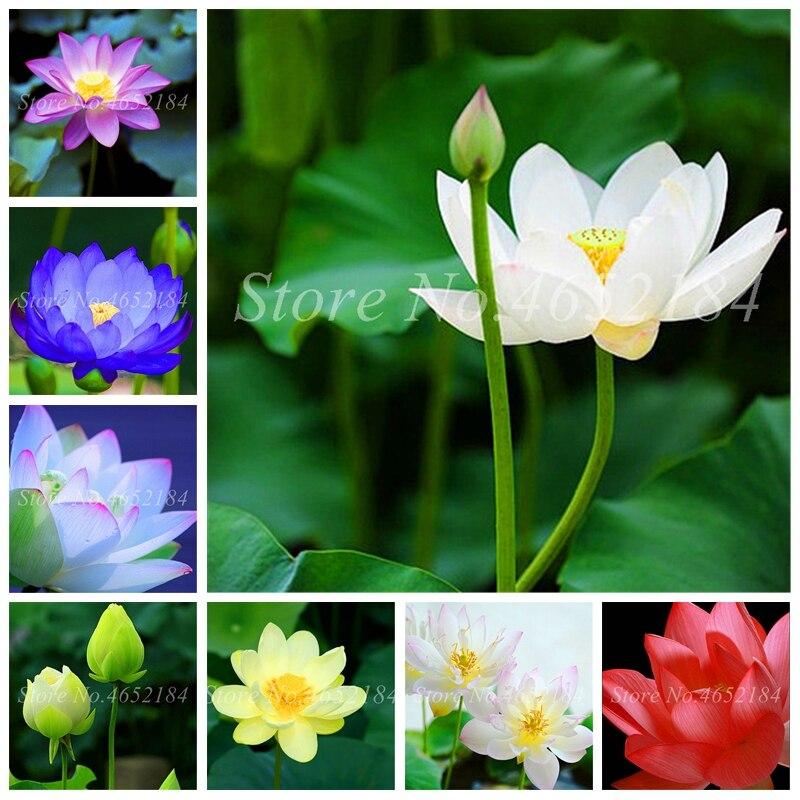 Aquatic Plants Flower Mini Bowl Lotus Water Lilies Lotus Plant 100% Genuine Rainbow Hydroponic Plants Bonsai Garden Flower 10Pcs