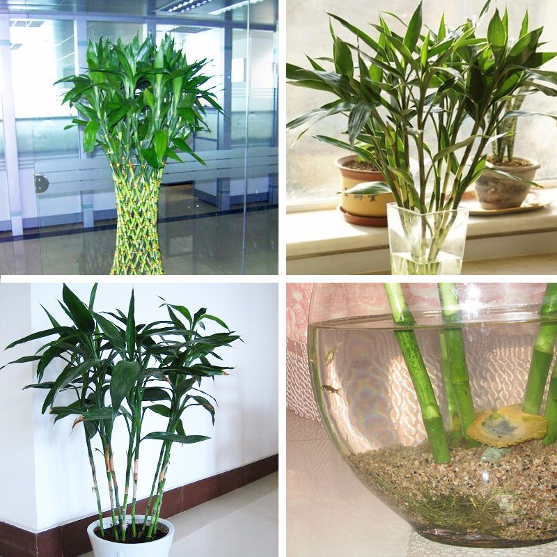 Hot Sale Rare Lucky Bamboo Potted Balcony Radiation Absorption Planting is Simple Plants DIY Home Garden Flowers Bonsai 60PCS