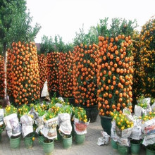 Mini Balcon Patio En Pot Fruits Graines Bonsaï Orange Graines Chine Escalade Plantes Orange Arbre Graines 20 graines/pack Livraison gratuite(China)