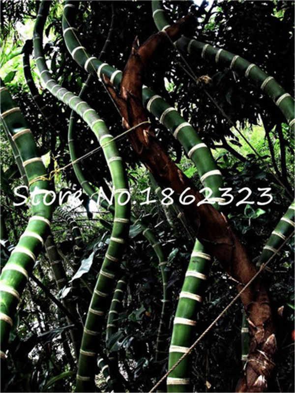 Indoor Bonsai Pot Tanaman 20 Pcs/bag Langka Biru Tanaman Bambu Radiasi Penyerapan Bambu Bonsai Dekoratif Taman