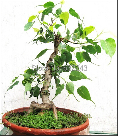 Seeds & Bulbs Latest Collection Of Bonsai Ficus Religiosa Seeds Ornamental Plant Sacred Fig Tree Seeds Home Garden Bonsai Seeds