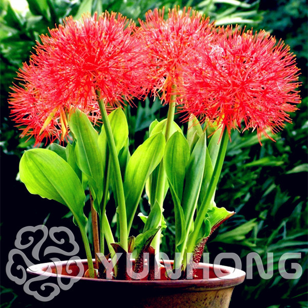 Free Shipping 100pcs High Quality Tennis flower Seeds In Bonsai Rare Indoor Plantas Radiation Protection Foliage Plants Seed.
