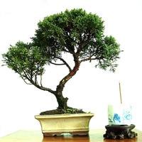 Hot Sale Unique Cypress Tree Seeds For Garden & Garden Perennial Plant Bonsai Pine Tree Seeds 120PCS