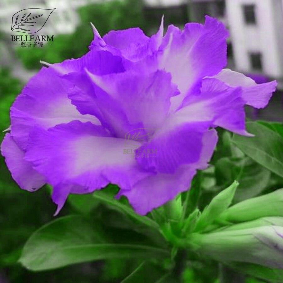 Bellfarm Bonsai Adenium Purple White Double Flowers Desert Rose