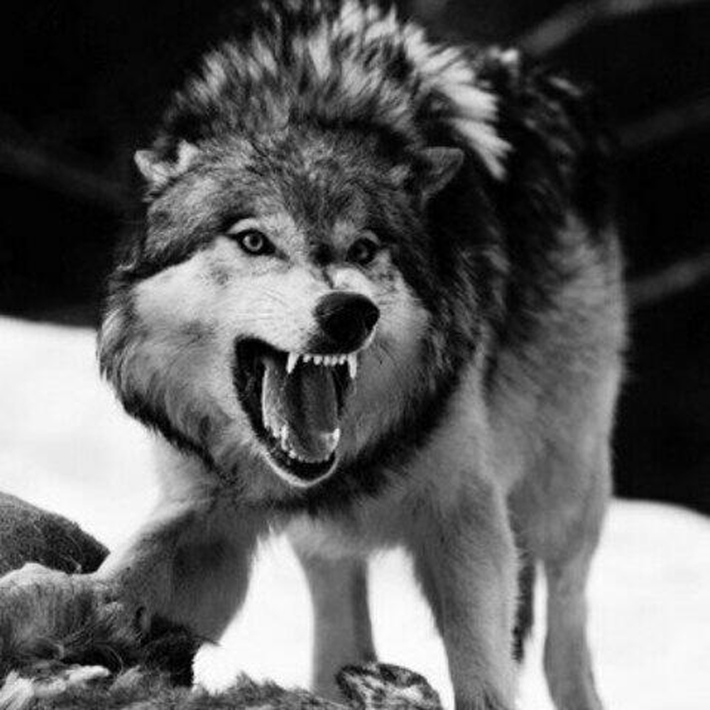Картинки с злым волком