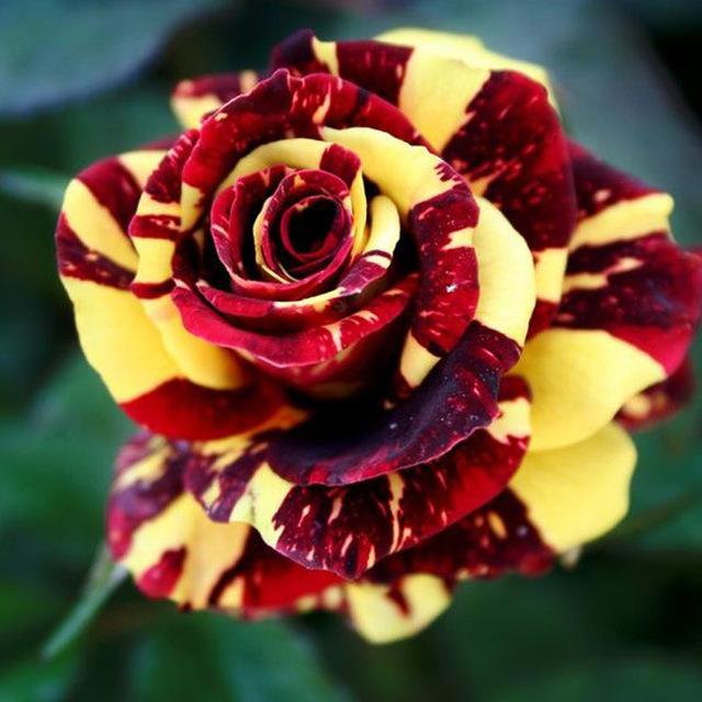Rare Rose Bonsai Black Rose Flower With Red Edge Rare Rose Flowers Bonsai For Garden Bonsai Planting.100Pcs