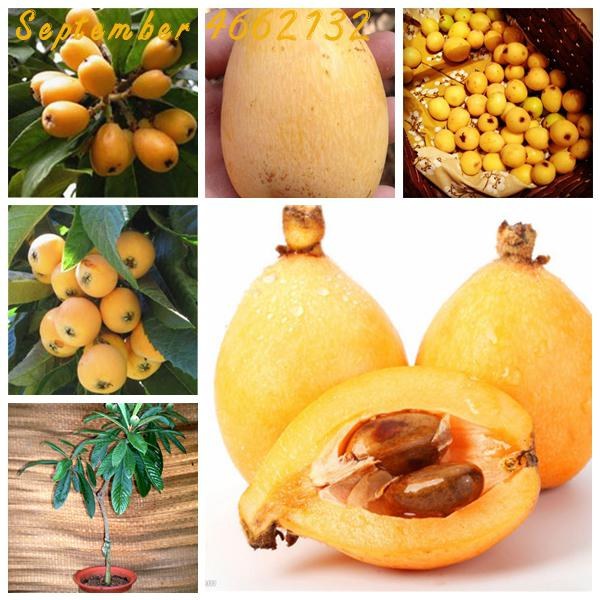 Eriobotrya Japonica Bonsai 5 Pcs Seeds Evergreen Tree Chinese Loquat Fruits Rare Home Garden Seeds Bulbs