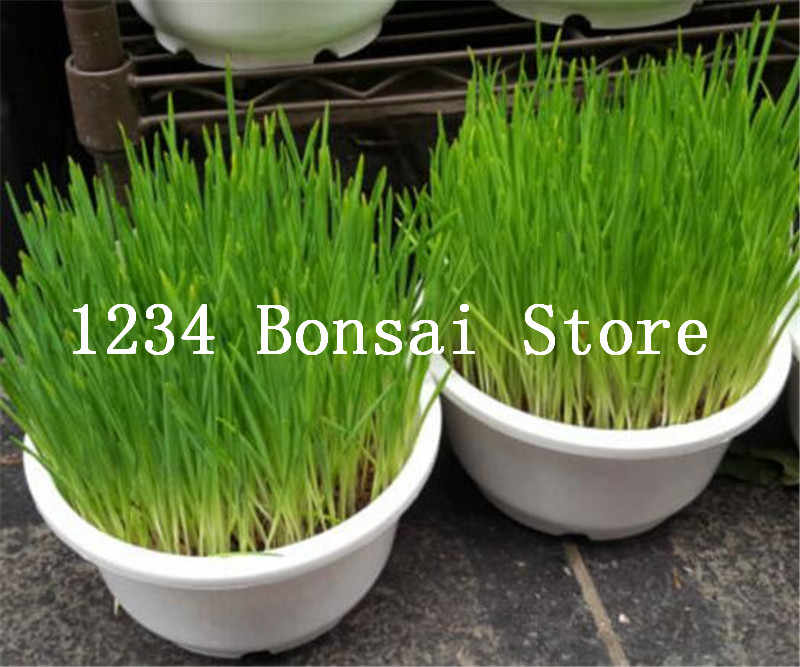 200 pcs Cat grass bonsai cat wheat herb plants for home garden planting Houseplants provide the cat with a lack of nutrients