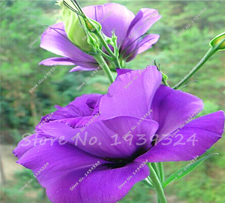 2016 Real Indoor Plants Very Easy Seeds Sementes Hot Sale Rare Eustoma  Seeds 100pcs/pack