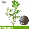 Hierbas medicinales chinas semillas de ajenjo, familia Artemisia annua semillas 200 unids