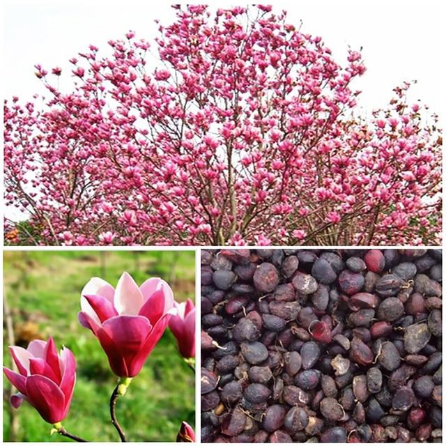 Plantas aromaticas para jardin good barrio santa cruz la - Magnolia planta cuidados ...