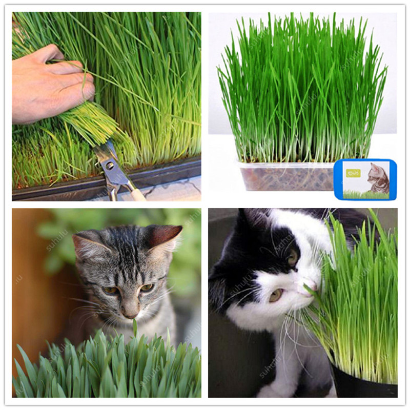Free Shipping 1000 Pcs Cat Grass Bonsai Foliage Plant Bonsai Wheat Grass Mint Smell Superior Cat Food For Your Pet Easy To Grow(China)