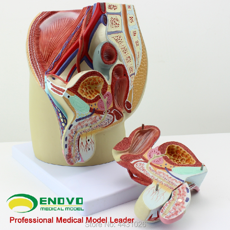 ENOVO Male reproductive urinary system model male pelvic anatomy model prostate