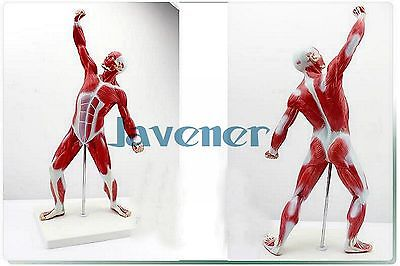 Mini Human Anatomical Most Muscular Pose Anatomy Medical Model Art Teaching