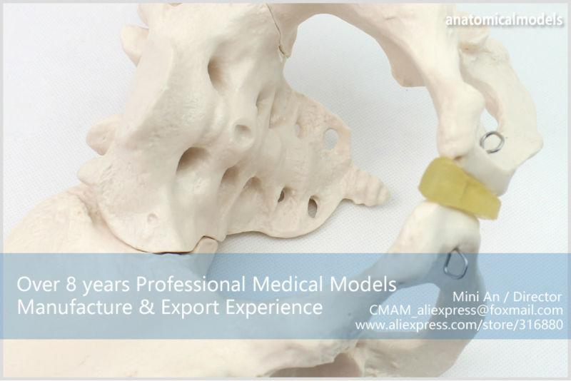 CMAM/12340 таз, женский, пластиковый таз медицинская анатомическая модель человека