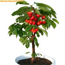 Big sale! 10pcs dwarf bonsai cherry tree  real green healthy fruit potted perennial fruit home garden plants