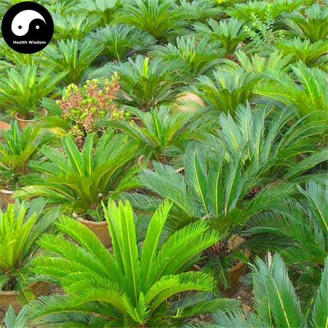 Buy cycas revoluta tree seeds 8pcs plant iron tree chinese for Pianta cycas