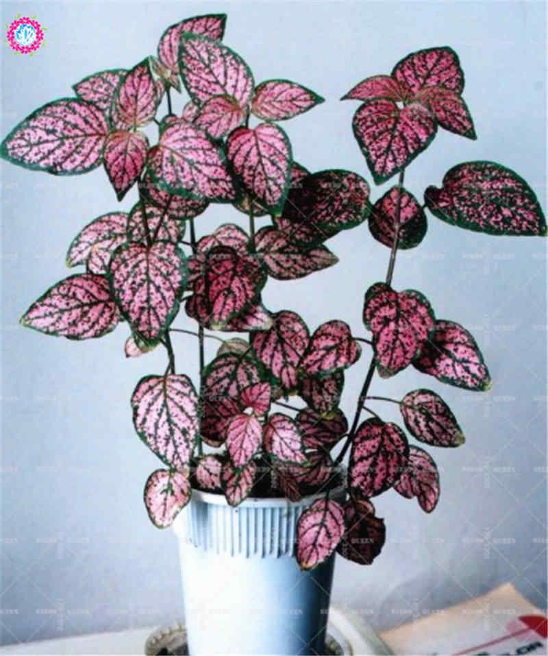 100 pcs قوس قزح Caladium الملونة كوليوس داخلي بونساي زهرة المعمرة تزهر النباتات للمنزل حديقة أفضل التعبئة والتغليف