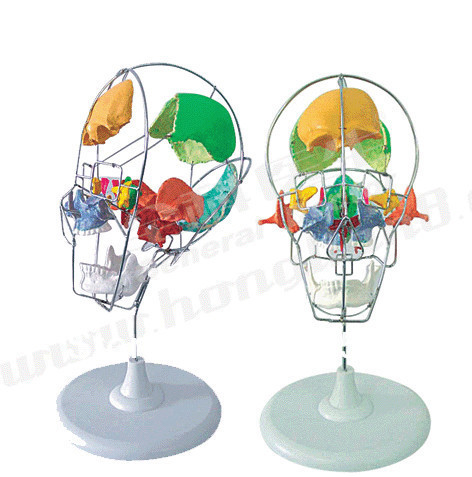 ISO Advanced Dissected Model of Adult Skull, Colored Skull iso advanced infant skull model anatomical skull model
