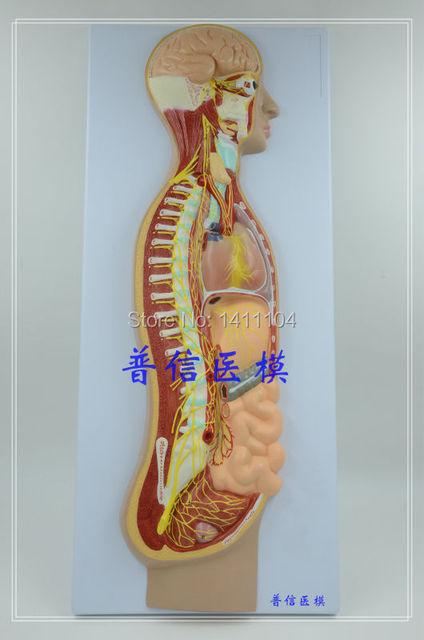 Freies schiff & Das vegetative nervensystem modell, der ganze körper ...