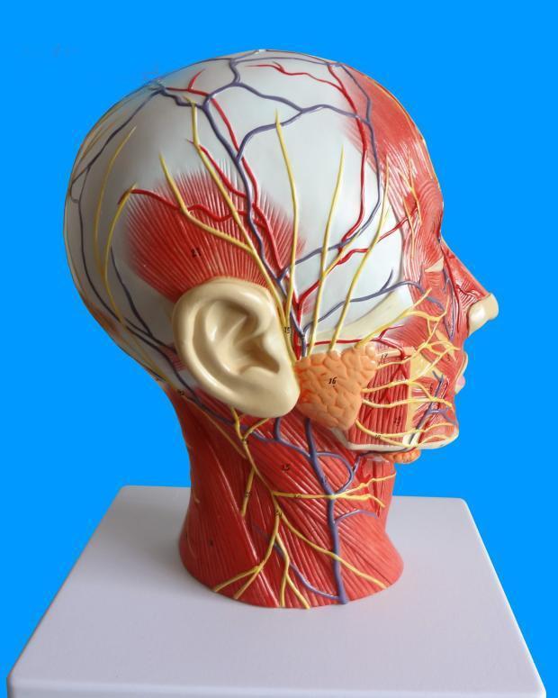 Human Skull Section With Muscle Neurovascular Head Sagittal Cross