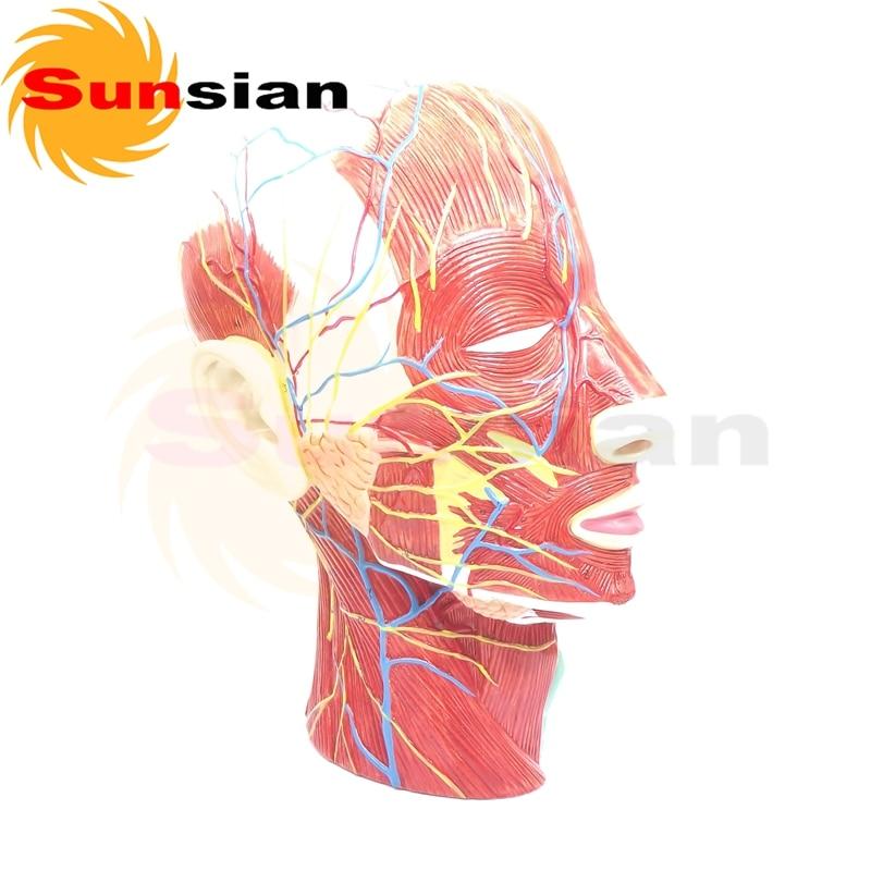 Das modell von oberflächlichen muskeln, nerven und vas in gesicht ...