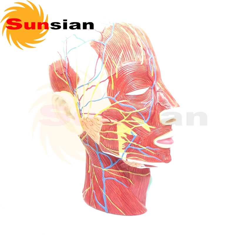 The model of superficial muscles,nerves and vas in face ,anatomical model,anatomy model,anatomia purnima sareen sundeep kumar and rakesh singh molecular and pathological characterization of slow rusting in wheat