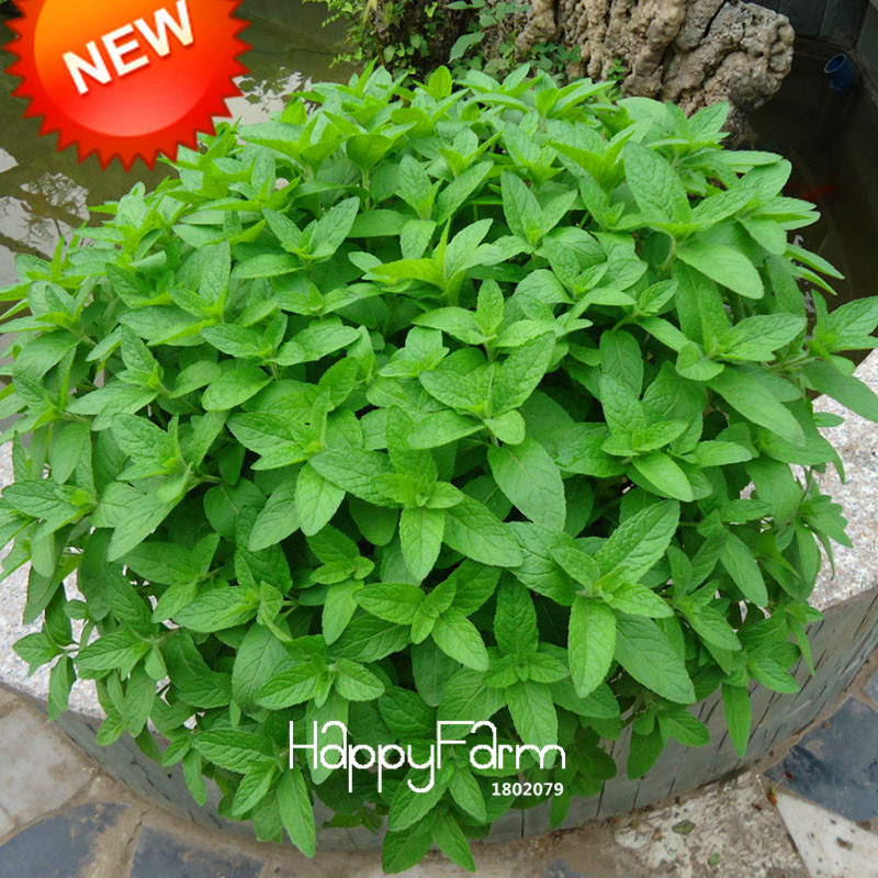 New Fresh Seeds Mint Seed Superior for Herbal Tea Has Radioprotective Effects 200 Seeds / pack,#6ATBLM