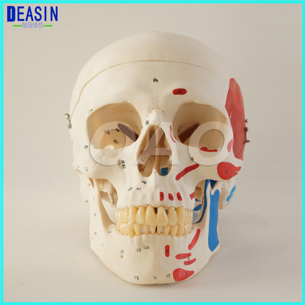Skull model extraoral model dental tooth teeth dentist anatomical anatomy model odontologia free shipping model of abnormal 10pcs 1set typodont orthodontic models dental tooth teeth dentist dentistry anatomical model