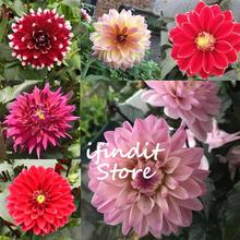 50pcs Rare mixed color Purple Pink Dahlia(not bulbs) flower Perennial Potted Bonsai plants For Home Garden Planting Easy To Grow