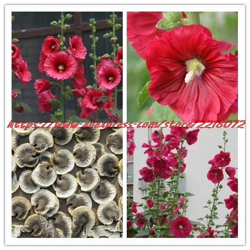 Flowers Garden Flower Seeds50seeds Bag Red Color Hollyhock Country Mixed Alcea Rosea Seeds Gr