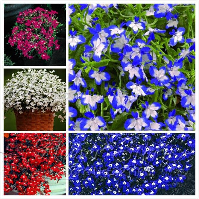 100 pcs/bag Lobelia seeds,lobelia flowers,beautiful flower seeds,seed covering,6 colours,outdoor planting for home garden