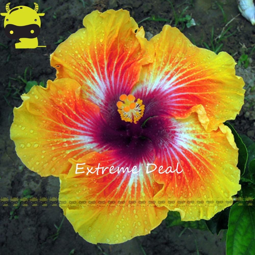 20pcs Rare Giant Thai Rainbow Hibiscus Seeds Perennial Flower