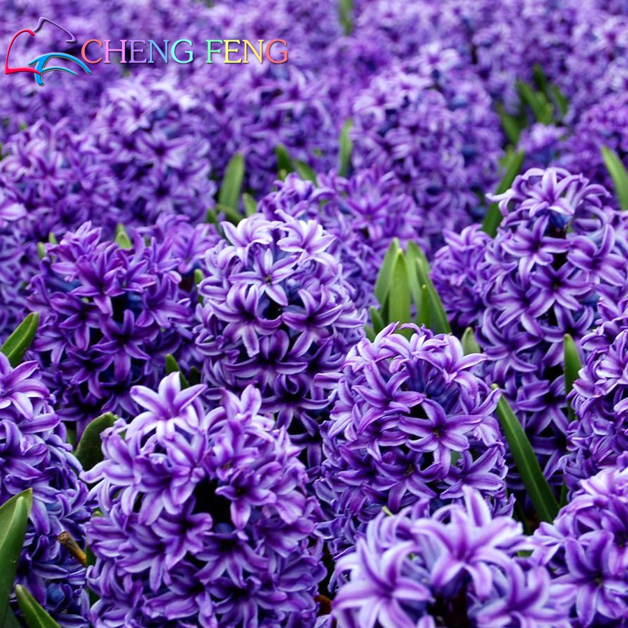 New hyacinth seeds 100pcs indoor flower green plant plants easy to new hyacinth seeds 100pcs indoor flower green plant plants easy to grow potted bonsai home cheap perfume flowers free shipping izmirmasajfo