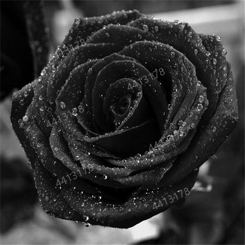 200 PCS Rare Black Rose Flower Bonsai Plants Perennial Garden Ornamental Flowers DIY Garden Balcony & Room  De Flores
