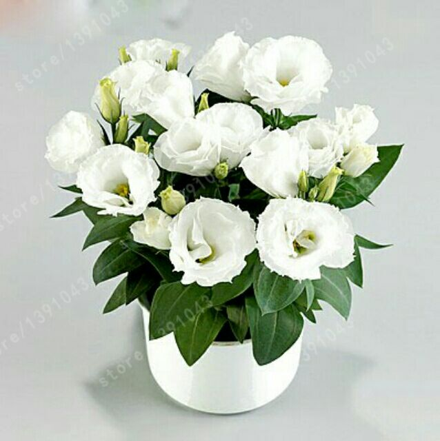 white eustoma seeds perennial flowering plants balcony potted flowers seeds lisianthus for diy home garden - White Flowering House Plants