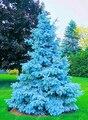 100 sementes de árvores raras Evergreen Colorado blue spruce PICEA PUNGENS GLAUCA bom para o cultivo de sementes em vasos, plantadores de vaso de flores