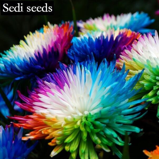blumensamen japan matsuba kiku regenbogen chrysanthemen blumen und pflanzen blumen pflanzen topfpflanzen 30 stcke sd0732 - Blumen Im Topf Pflanzen