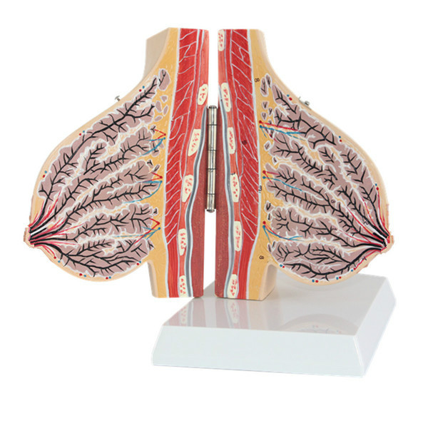 Human Breast Anatomical Model Human Anatomy Model Medical Teaching