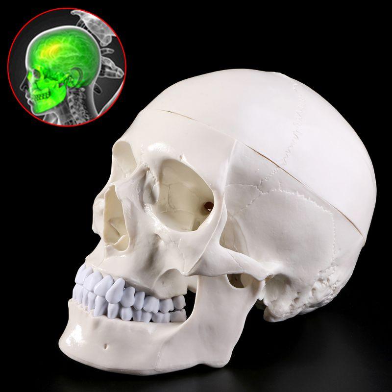 Tête anatomique humaine squelette crâne modèle d'enseignement fournitures scolaires outil d'étude