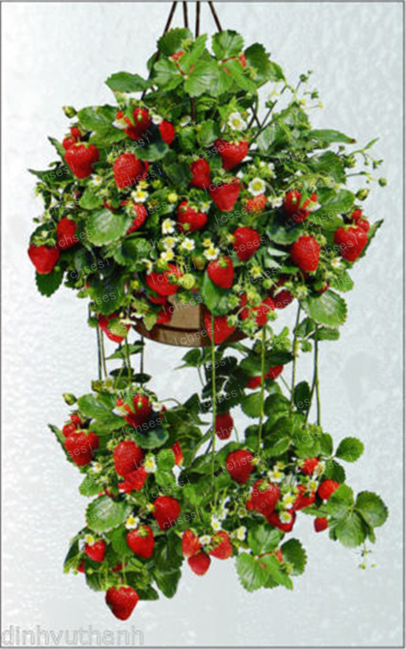 Image 4 - 500pcs/farmer Direct Selling Indoor Plants Strawberry bonsais Rare Color Strawberry bonsai Fruit bonsais for Garden Bonsai-in Bonsai from Home & Garden