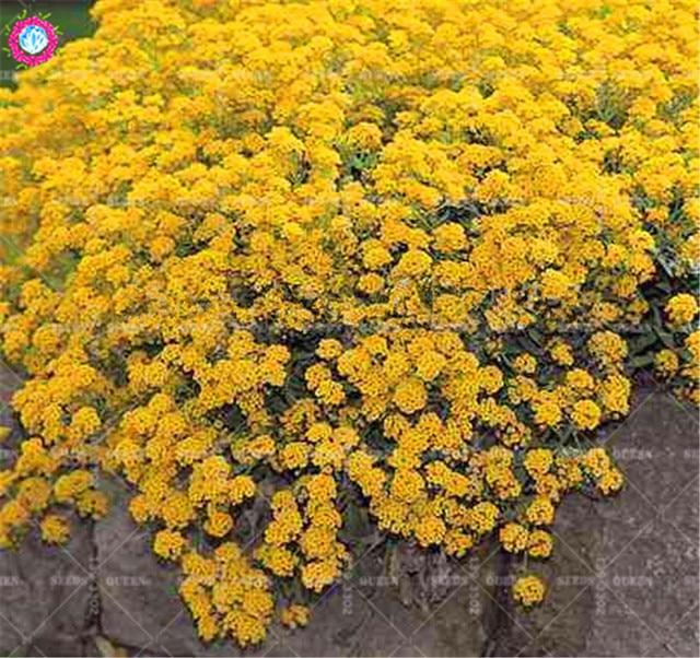 100pcs yellow alyssum montanum genuine perennial ground cover 100pcs yellow alyssum montanum genuine perennial ground cover mountain gold flower for home garden decor planting mightylinksfo