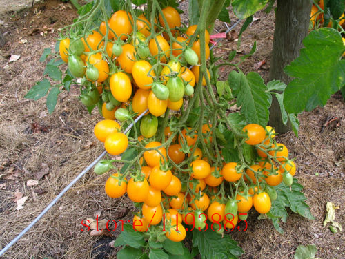 200pcs/bag yellow cherry tomato seeds, tomato seeds, bonsai organic vegetable & fruit seeds,potted plant for home &garden