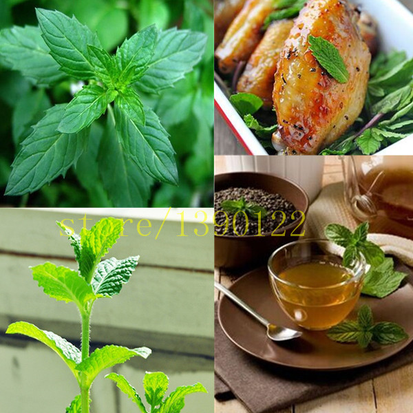 Aromatic plant seeds  piperita seeds, spearmint pepper mint seeds