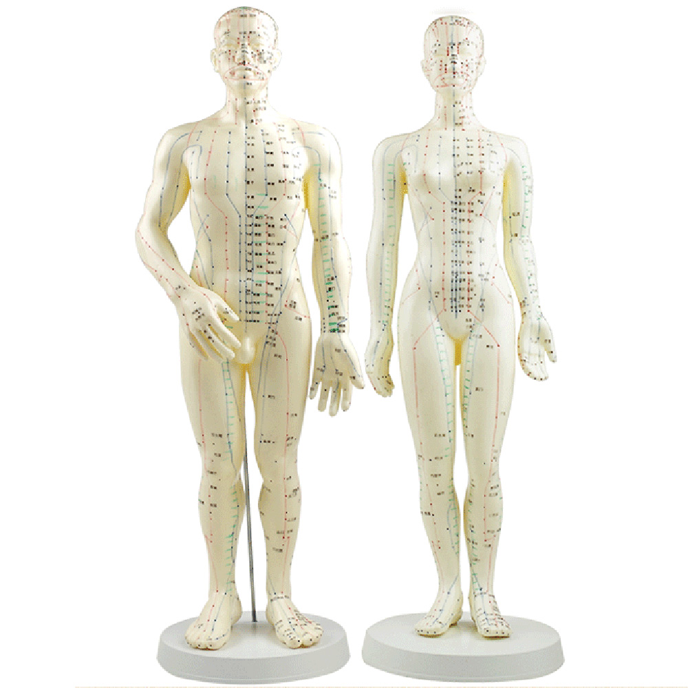 Acupuncture Model 50cm Male female with Base Human acupuncture meridians model Acupuncture Starter KitAcupuncture Model 50cm Male female with Base Human acupuncture meridians model Acupuncture Starter Kit