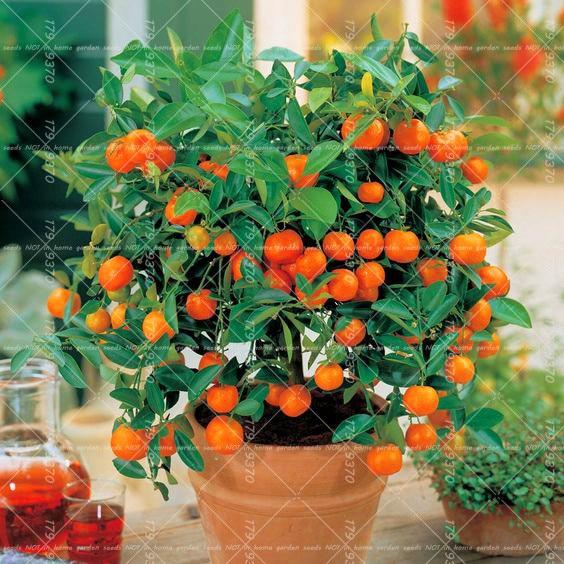 40 unids bonsai orange semillas maceta plantas, semillas de