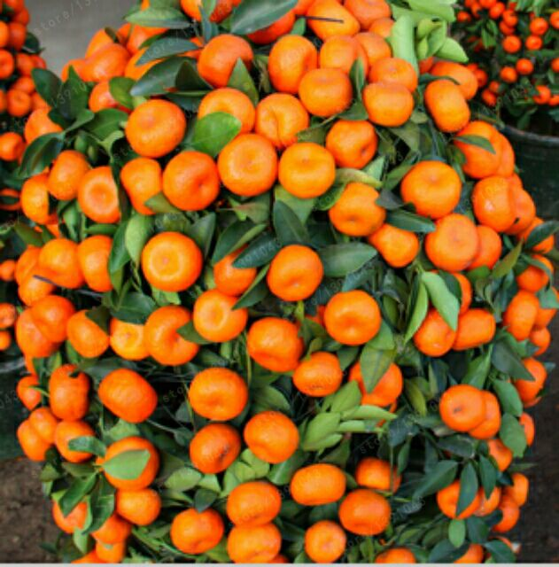 20PCS Climbing Orange Seeds Mini Potted Edible Fruit Seeds Bonsai China Top Quality Climbing Orange Tree Seeds Climbing Plants ...